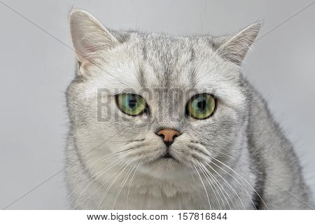 Gray British Shorthair cat close up on gray background.