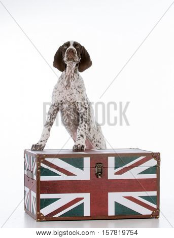 german shorthair pointer puppy standing on a trunk with British flag