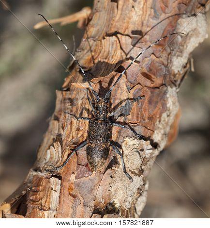 Beetle Climbing On Pine Tree