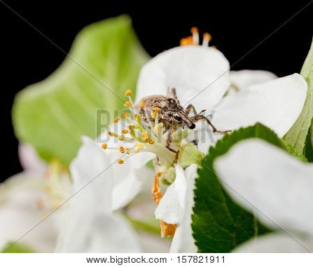 Macro of snout beetle (Otiorrhynchus sulcatus) in apple flower in orchard