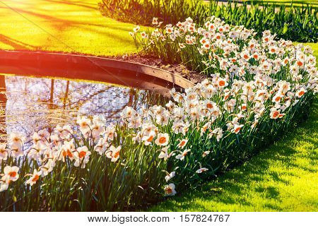 Marvellous flowers in the Keukenhof gardens in glowing morning light. Beautiful outdoor scenery in Netherlands Europe.
