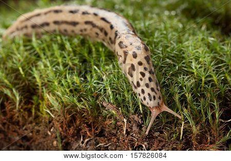 Slug Sliding On Forest Floor