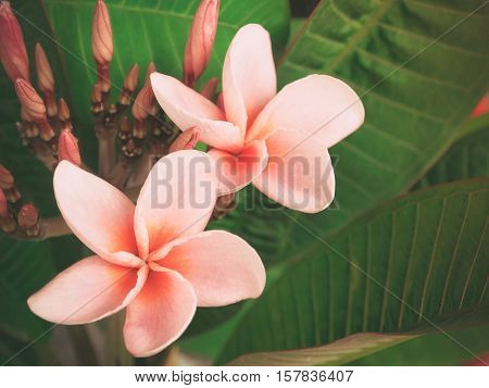 Retro color/ Pink Plumeria Rubra Linn(Frangipani) in sunlight, Selective focus with place your text