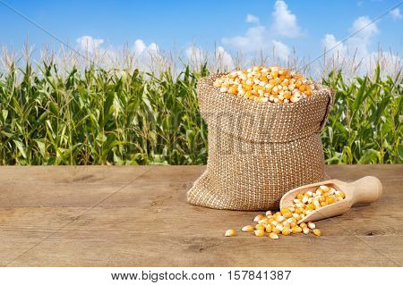 Corn seeds in sack. Dry uncooked corn grains for popcorn on nature background. Corn grains in burlap bag with wooden scoop on table with corn field background. Agriculture and harvest concept. Maize with maize field background