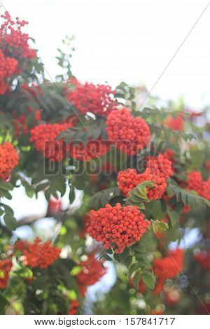 the Bunch of red rowan on blur background with bokeh