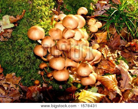 A cluster of bricks cap fungi growing fom a tree trunk poster