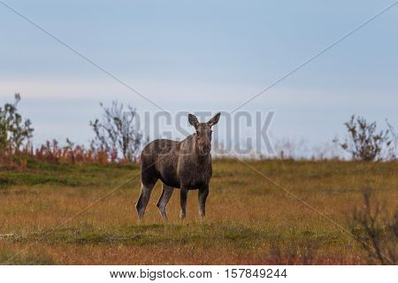 Portrait of female moose (alces alces) starring and standing