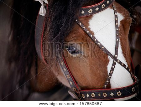 Muzzle of a brown horse in a harness.