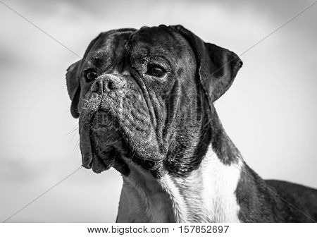 dog breed boxer, male, boy, age one year,beautiful portrait in black and white, dirty snout in sand, intelligent,wise,focused look,great against the sky,glistening in sun,white hairs on neck,long ears