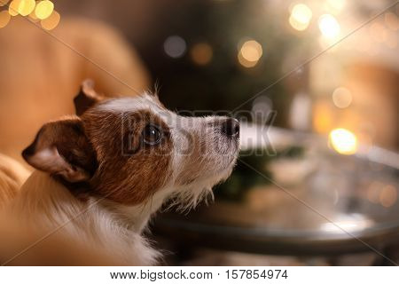 Dog Jack Russell Terrier. Happy New Year, Christmas, Pet In The Room The Christmas Tree