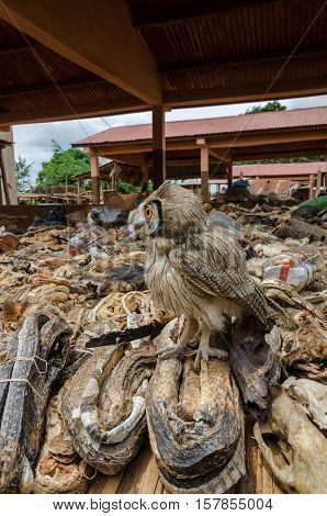Owl sitting in midst of parts of dead animals offered as cures and talismans on outdoor voodoo fetish market in Benin, West Africa.