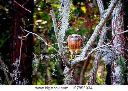 Hawk taking steps on the tree limb