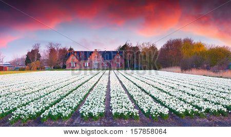 Colorful Spring Scene In Netherlands.