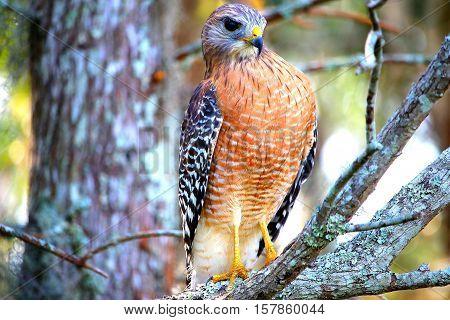 Hawk taking in a deep breathe of fresh air