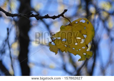 yellow lace autumn leaf on a tree branch in the garden