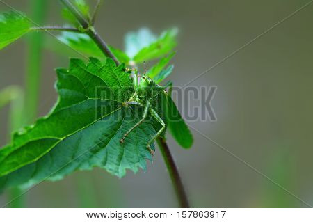 Big green grasshopper on a stinging nettle for backgrounds. Shallow focus background.