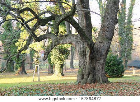 very old maple tree with fat trunk and crooked branches without any leaves in the park in autumn