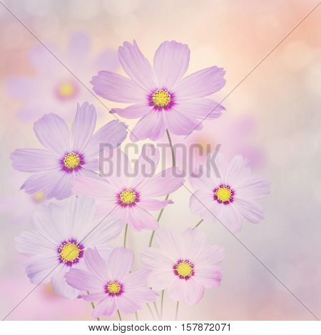 Blossom of Purple Cosmos Flowers
