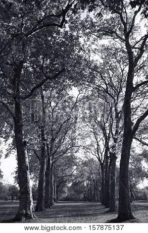 Avenue of woodland trees in Kensington Park, London, England, UK