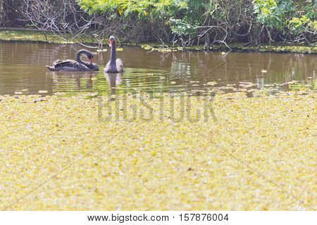Two black swn swmming in a lake with plants
