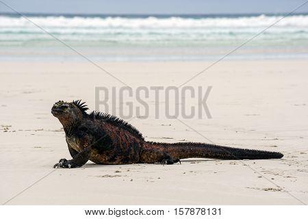 Galápagos marine iguana (Amblyrhynchus cristatus) posing on Tortuga Bay with a suspicious look