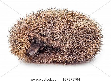 Hedgehog balled up isolated on white background.