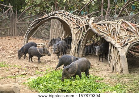 Wild boar herd in a national park, in the city of Guayaquil, Ecuador
