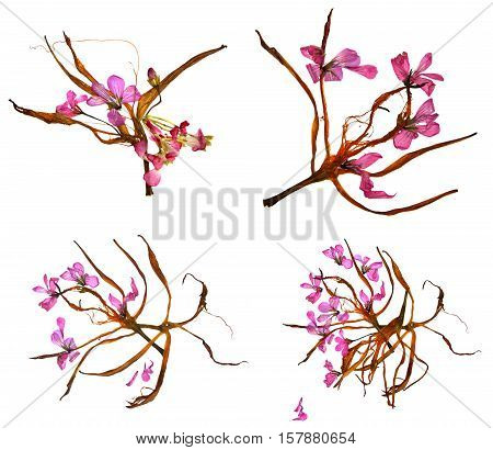 Bizarre Lily Petals And Pressed Geranium