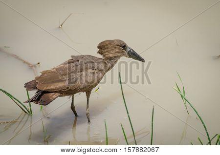 Exotic African Hamerkop bird feeding in brown water of National Park waterhole in Penjari NP, Benin, Africa