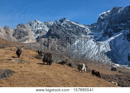 Group of black and white Nepali yaks grazing on the pasture on a slope of Himalayan mountains. Wild yaks eating grass in the field with high snowy mountains on the background.