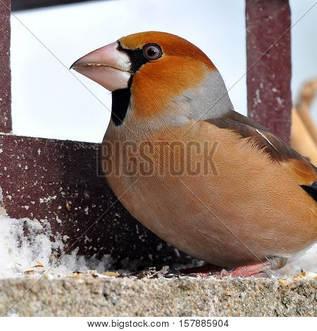 hawfinch bird in wintertime near feeder during watching