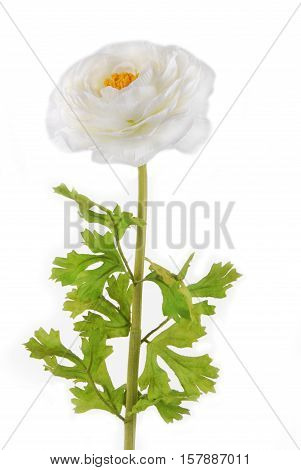 close up of the Rununculus Buttercup white flower isolated