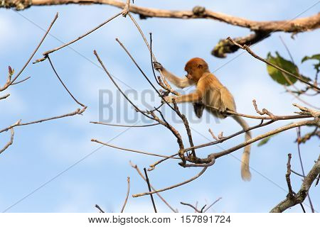 Young Proboscis monkey standing on tree branches in the wild Borneo jungle