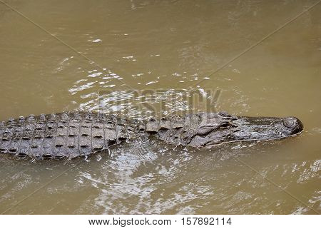 An American alligator Latin name alligator mississippiensis