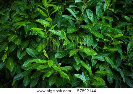 Background of the bush with fresh green leaves
