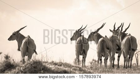A herd of eland antelope in profile looking left in sepia