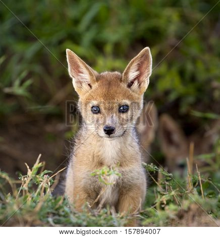 Adorable black backed jackal cub after emerging from his den with foliage in background