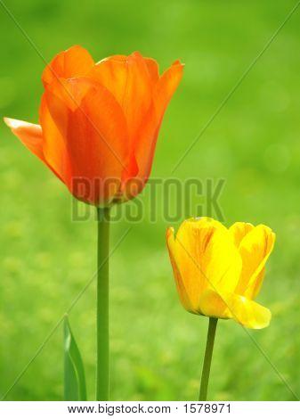 Orange und gelb Tulpen im Garten