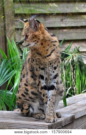 A Serval cat Latin name Felis serval