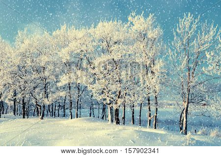 Winter forest landscape with snowy winter trees and falling snow winter evening of snowy winter grove. Winter nature in the winter forest - winter landscape under snowflakes in evening light