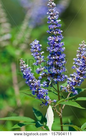 Purple vitex tree close up in garden.