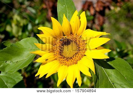 Beautiful sunflower with a honey bee in it.