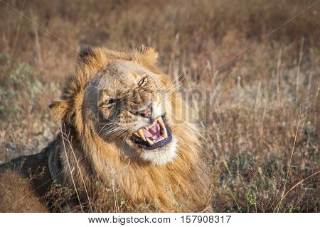 Growling Male Lion.