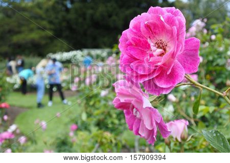 Parnell Rose Gardens In Auckland New Zealand