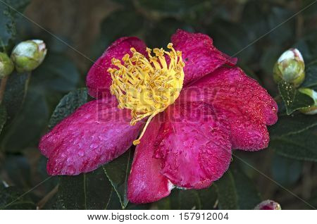 The early morning dew shimmers on a Yuletide Camelia in a Garden in North Carolina.