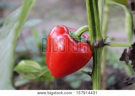 Red bell pepper growing on stem in garden. Red paprika on stem. Red bell pepper planting and growing.