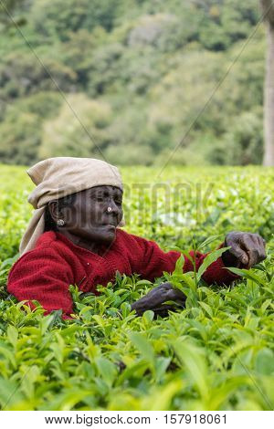 Nilgiri Hills India - October 25 2013: Short black-faced older woman only has shoulder and head above field of tea shrubs while she picks tea leaves. Shades of green red sweater beige head gear.