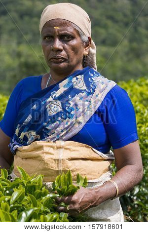 Nilgiri Hills India - October 25 2013: Portrait of middle aged Hindu woman with head gear picks tea leaves while half submerged in field of tea shrubs. Shades of green stern look.