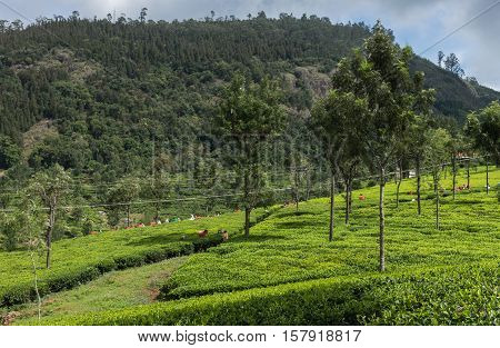 Nilgiri Hills India - October 25 2013: Fifty shades of green. Panorama view of tea plantation on with forest on horizon and a crew of picker in distance adding red and white dots. Blue sky.