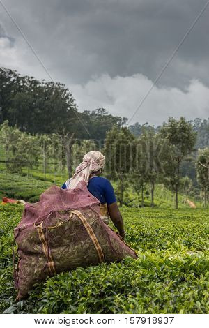 Nilgiri Hills India - October 25 2013: Woman with beige head gear picking tea leaves while half submerged in field of tea shrubs. Shades of green. Blue sari and mauve collection bag. Dark rainy sky.
